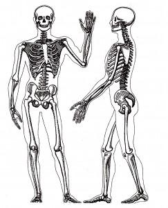 2) kostra člověka